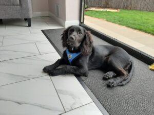 Bailey puppy