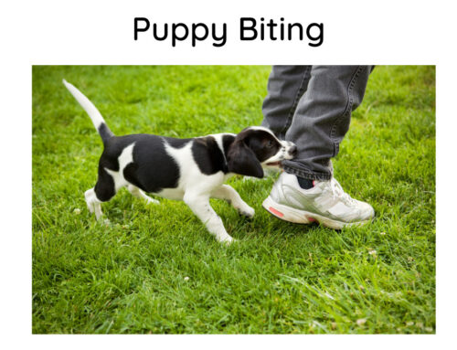 Puppy Biting – why oh why?